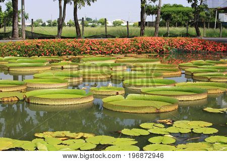 Beautiful scenery of santa cruz waterlily leaves in the pond in summer