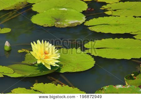 Beautiful scenery of yellow waterlily flower and leaves in the pond in summer