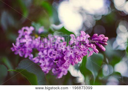 Blossoming Syringa vulgaris.Syringa vulgaris bush, lilac flowers, selective focus with shallow depth of field.