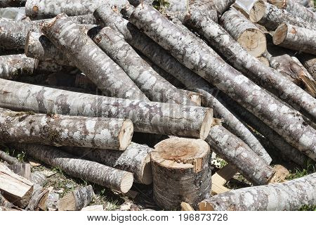 A bunch of freshly cut tree trunks mostly beech