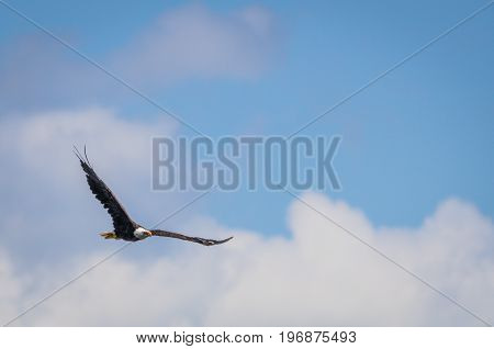 American Bald Eagle (Haliaeetus leucocephalus) soars in a blue and cloudy sky