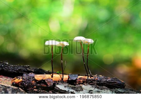 marasmius rotula mushrooms in the forest - pinwheel mushroom