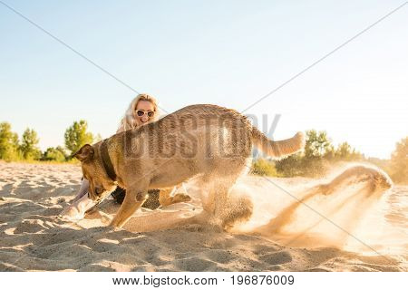 Yellow Labrador Retriever digging in the sand at a beach on a sunny day. Young woman sitting in the background