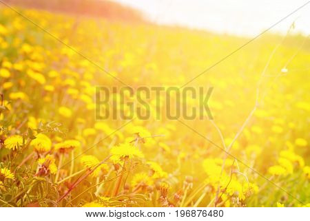 Meadow Yellow Blossoming Dandelions Flowers