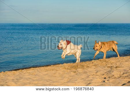 Golden Labrador retrievers having fun running along beach. Two Labradors, yellow and white, run along the sand next to the river