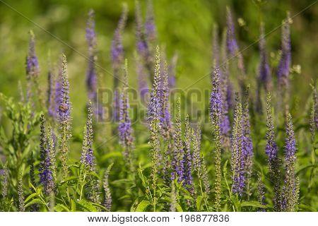 A beautiful garden speedwells blossoming in a summer meadow. Plenty of wild veronicas.