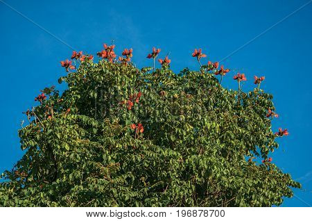 View of treetops, red flowers and blue sunny sky in Paraty, an amazing and historic town totally preserved in the coast of the Rio de Janeiro State, southwestern Brazil