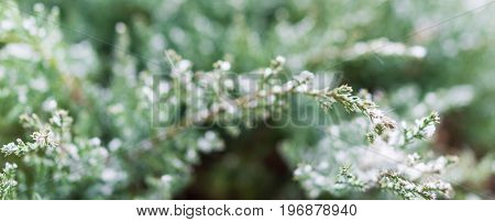 Snow Flakes On Juniper Tree Macro Closeup Panorama