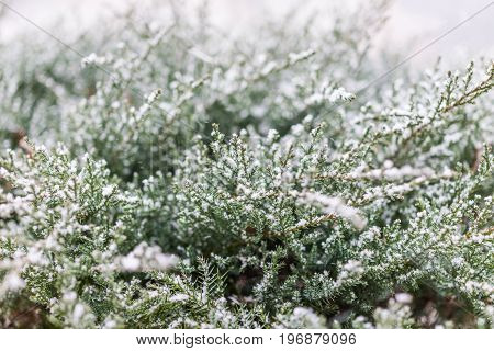 Snow Flakes On Juniper Tree Macro Closeup