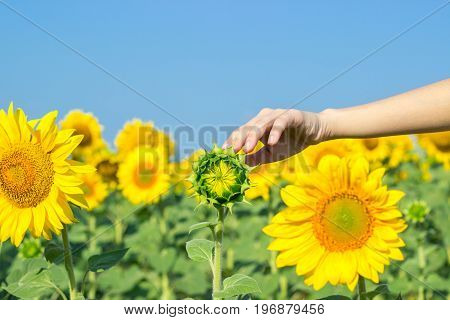A girl touches a sunflower in a field of ripe sunflowers. Sunflower in woman palms