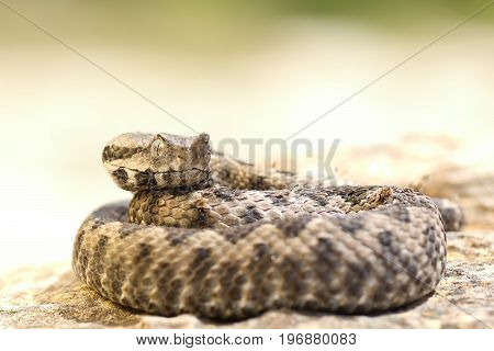 aggressive nose horned viper ready to strike ( Vipera ammodytes )