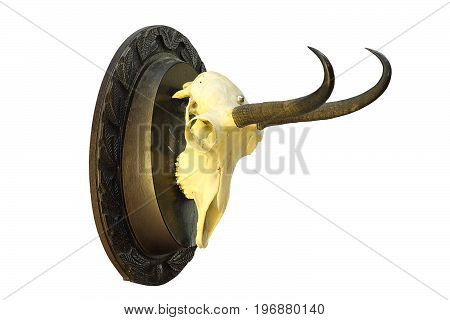 chamois hunting trophy mounted on wooden plate isolation over white background ( R. rupicapra carpatica )