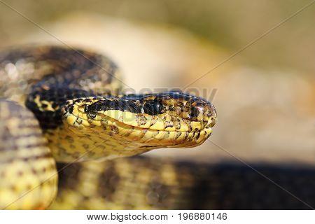 close up of blotched snake head ( Elaphe sauromates )