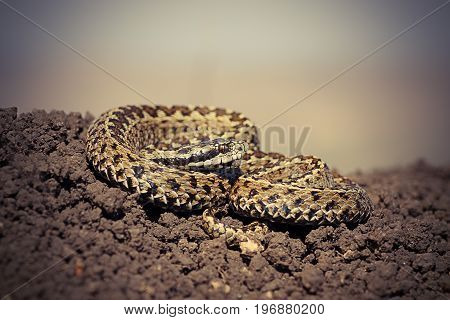 close up of male hungarian meadow adder ready to strike ( Vipera ursinii rakosiensis )