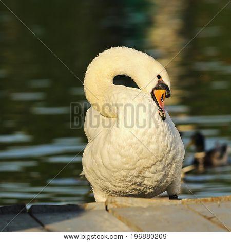 closeup of mute swan in the park ( Cygnus olor )