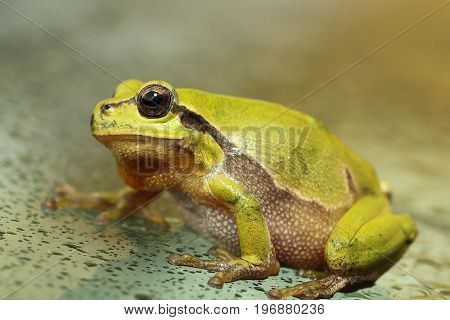 cute european green tree frog close up Hyla arborea male