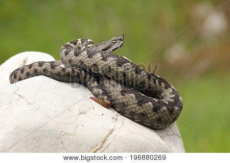 dangerous european viper standing on a stone ( Vipera ammodytes ot the european nose horned adder )