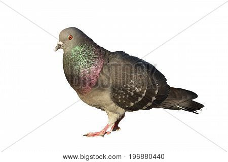 feral pigeon isolated over white background for your design ( Columba livia ) poster