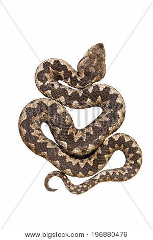isolated nosed viper Vipera ammodytes or the long horn adder one of the most dangerous european snakes; isolation over white background for your design