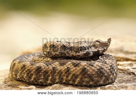 poisonous snake youngster basking on stone ( nose horned viper Vipera ammodytes )