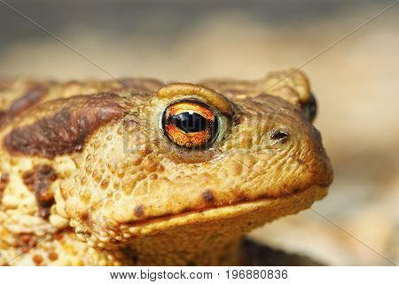portrait of ugly common brown toad ( Bufo )