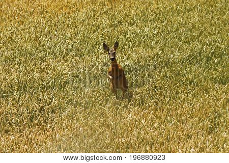 roe deer doe running towards the camera ( Capreolus ) in beautiful wheat field