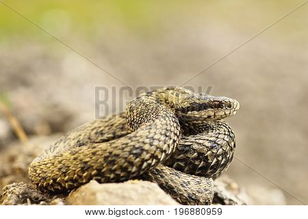 Vipera ursinii rakosiensis photographed in natural habitat ( the hungarian meadow viper )