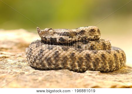 young viper basking on stone juvenile beautiful nose horned adder ( Vipera ammodytes )