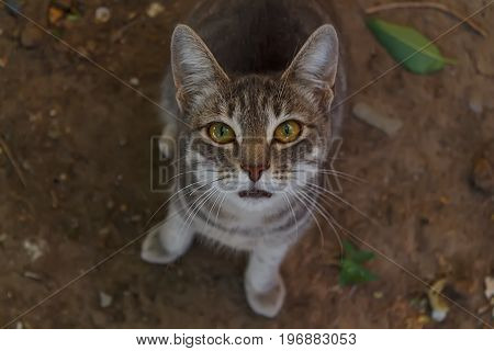 Grey tabby mewing cat sitting on the ground and looking at the camera. Selective field of focus.
