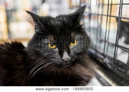 Closeup Of Black Cat With Long Hair And Yellow Eyes In Cage