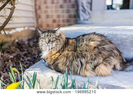 Calico Maine Coon Cat With Green Eyes Sitting Outside Looking
