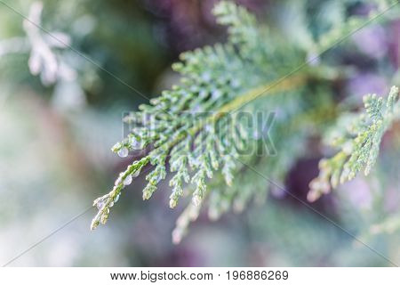 Frost water drops on juniper tree during winter