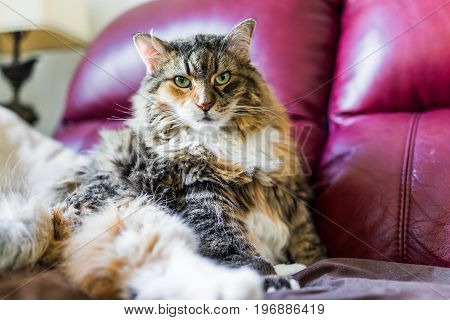 Closeup Portrait Of Calico Maine Coon Cat With Green Eyes Sitting On Couch