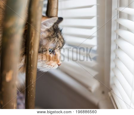 Closeup Portrait Of Calico Maine Coon Cat Looking Through Chair And Window Outside