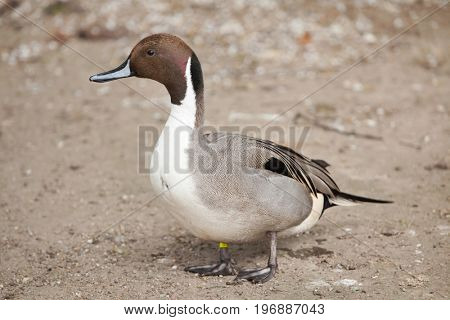 Northern pintail (Anas acuta). Wild life animal.
