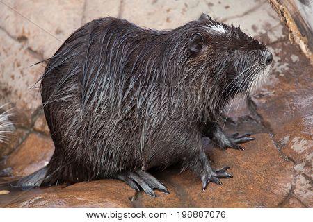 Coypu (Myocastor coypus), also known as the river rat or nutria.