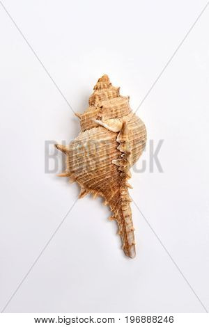 Echinoderm seashell isolated on white. Beautiful oceanic shell.