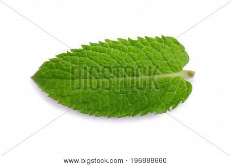 A close-up fresh mint leaf, isolated on a white background. Ripe and bright green leaf of mint. Sweet officinalis mint. Peppermint, spearmint. Herb leaves from a garden.