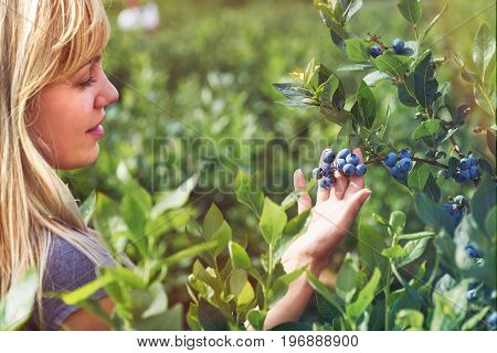 Pretty young woman is picking fruits on a blueberry field. Lensflare and vintage toned
