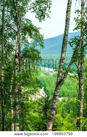 Forest landscape with birches in the foreground