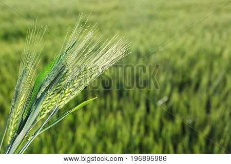 Bunch of spikelets in wheat field