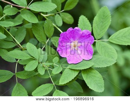 Pink Flower Of Briar Forest