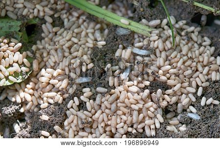 photo shows a top view of a ants nest; ants are organizing their pupae and young offspring