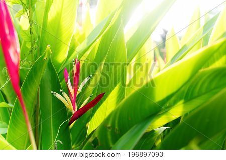 Colorfull Heliconia Flower Tropical Plant Summer