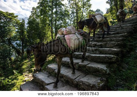 The caravan of mini horse is walking Nepal