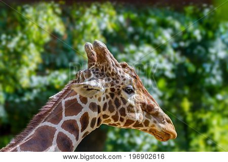 Image of the head of a wild animal giraffe in the zoo