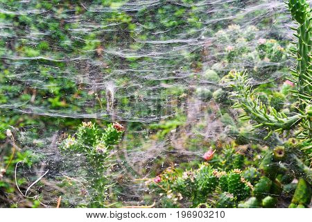Spiderweb On Cactuses Of Madeira's Park