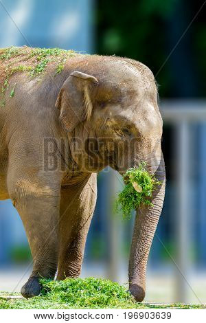 a Big elephant animal eating grass at the zoo