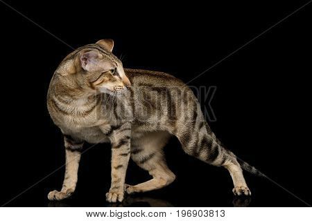 Green Eyed Oriental Cat With Tabby fur and Big Ears Walk and turn back on Black Isolated Background, side view