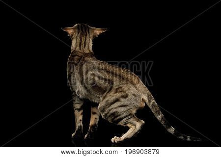 Green Eyed Oriental Cat With Tabby fur and Big Ears Walk on Black Isolated Background, back view